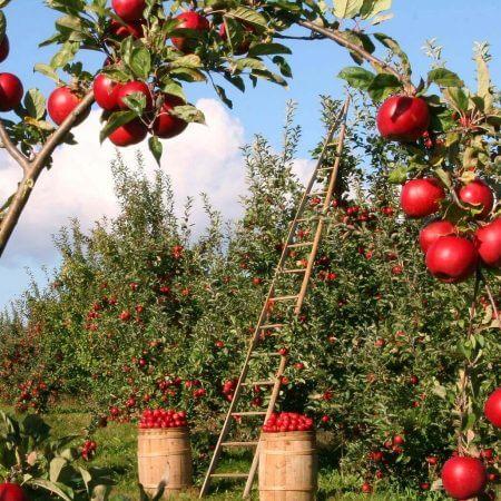 obstgarten mit apfelbäumen
