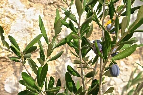 olivenweig vor mauer