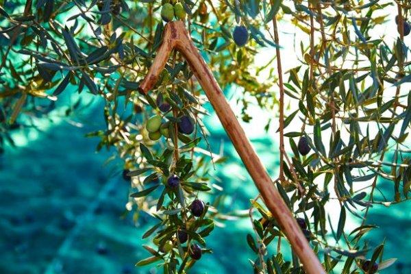olivenerntestock